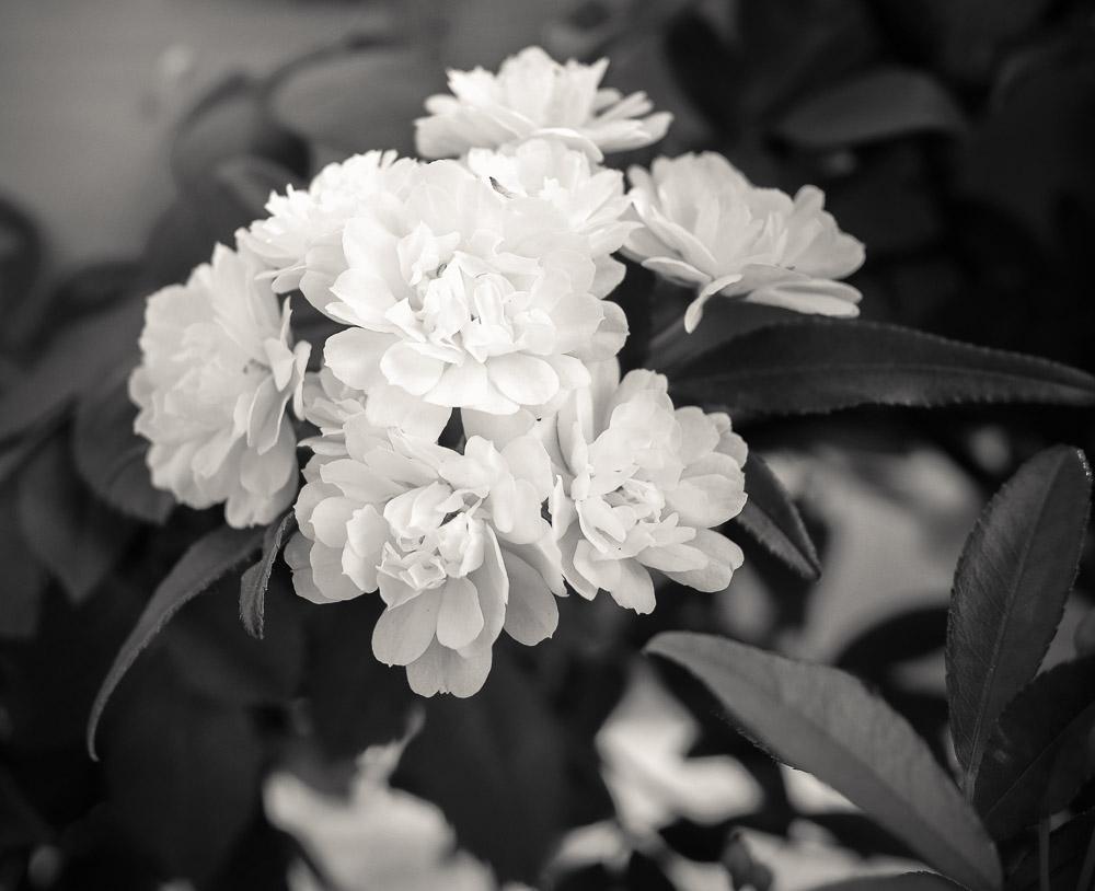 Jasmine in black and white